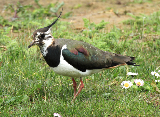 pennys-lapwing-picture